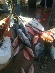 3 nice kings, 6 muttons, some YT snappers and a Cobia