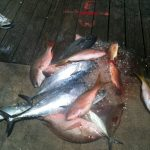 Cobia, Muttons, Yellowtails