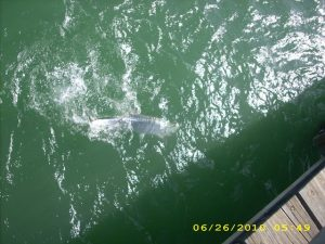 Tarpon straight down from a pier