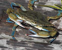 Blue claw Florida crab