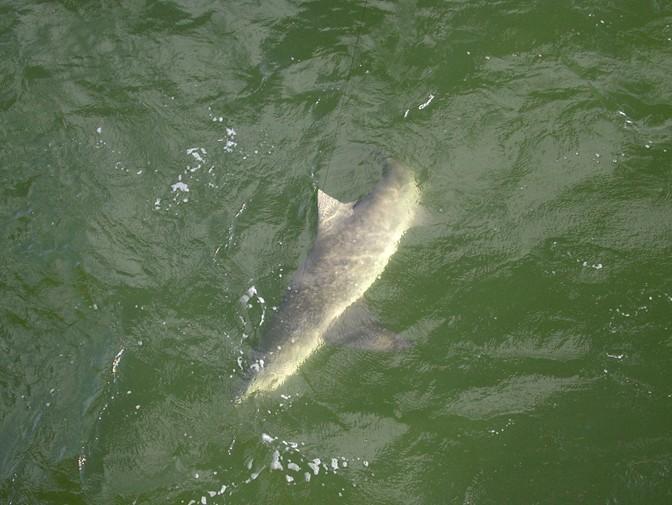 Sharks invade